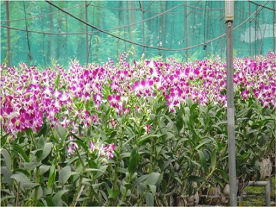 Orchid Project in Kamrup District, Assam
